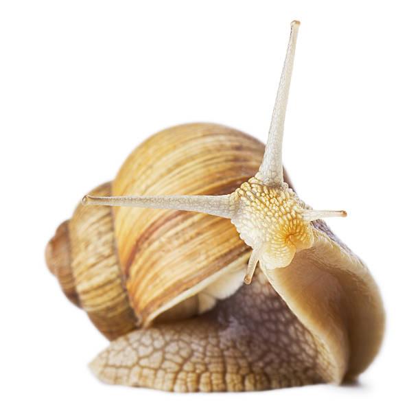 ciekawy ślimak - ślimak gastropoda zdjęcia i obrazy z banku zdjęć