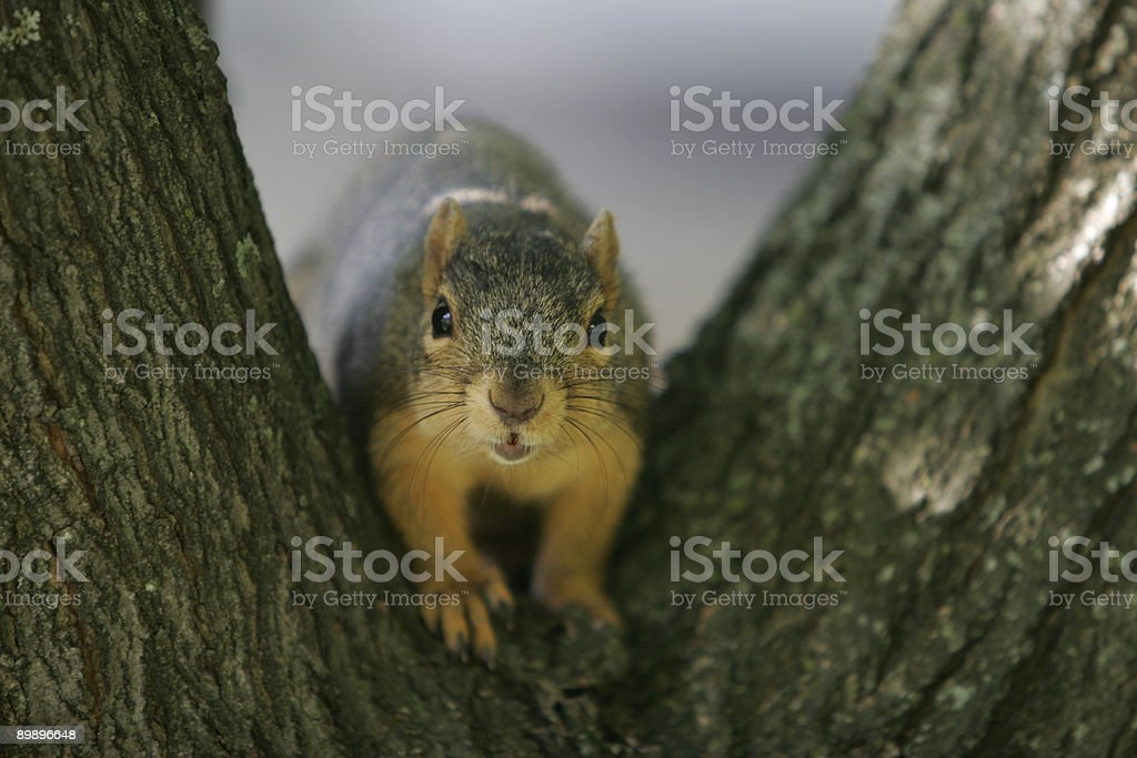 Curious squirrel 2 royalty-free stock photo
