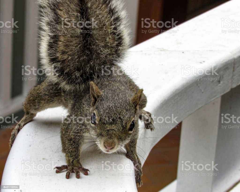 Curious Squirrel Leaning stock photo