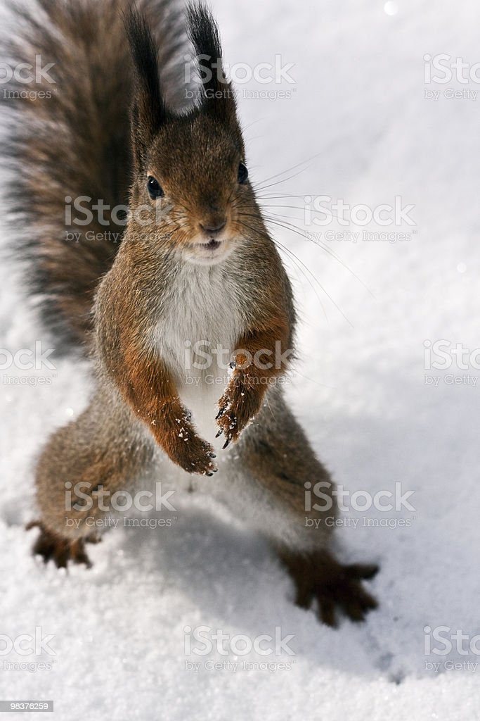 curious squirrel royalty-free stock photo