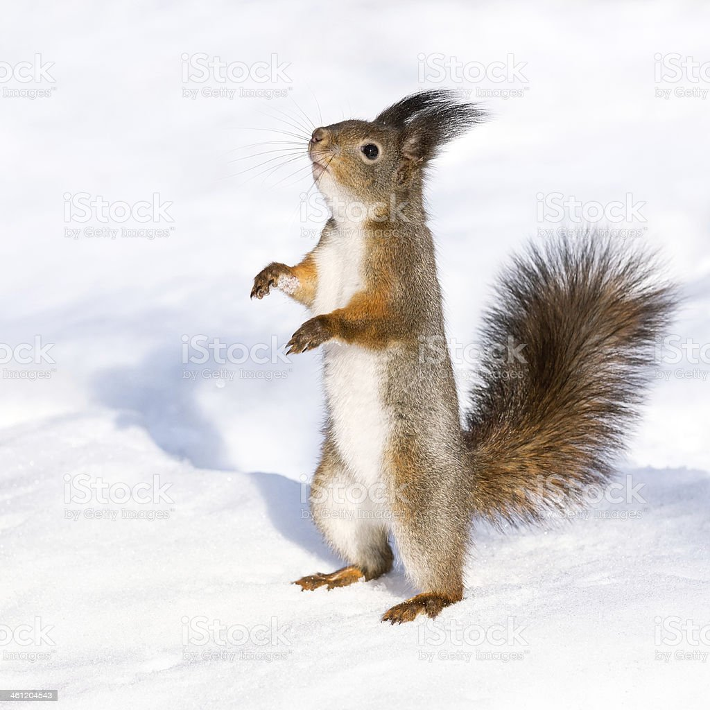 Curious squirrel standing on the snow stock photo