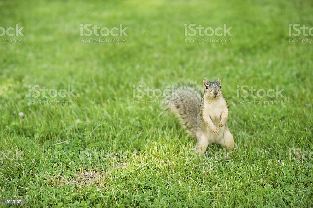 Curious Squirrel Standing Up stock photo