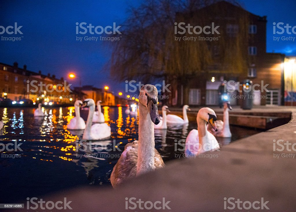 Curious swans at night stock photo