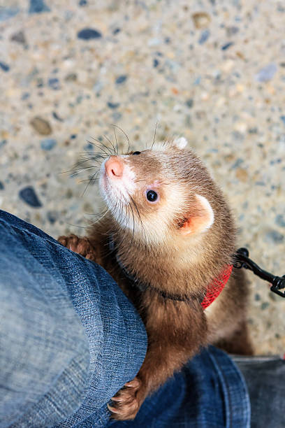curious tame polecat playing with a man - frettchen haltung stock-fotos und bilder