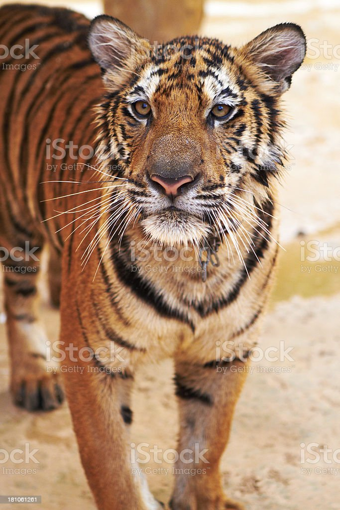 Curious tiger looks confidently at the camera royalty-free stock photo