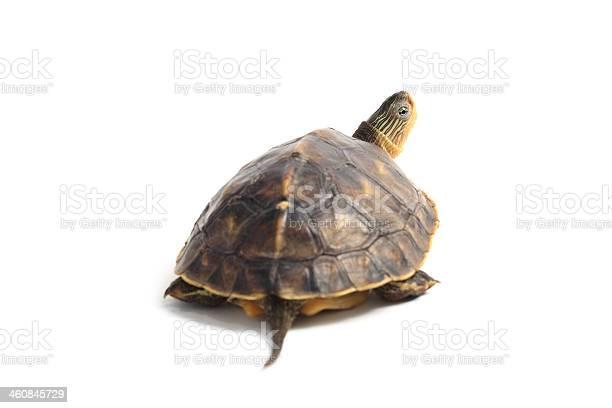 Curious tortoise picture id460845729?b=1&k=6&m=460845729&s=612x612&h=epmonatd ugb5erbrnwyawxnlnhtqkime8b6vetpjxi=
