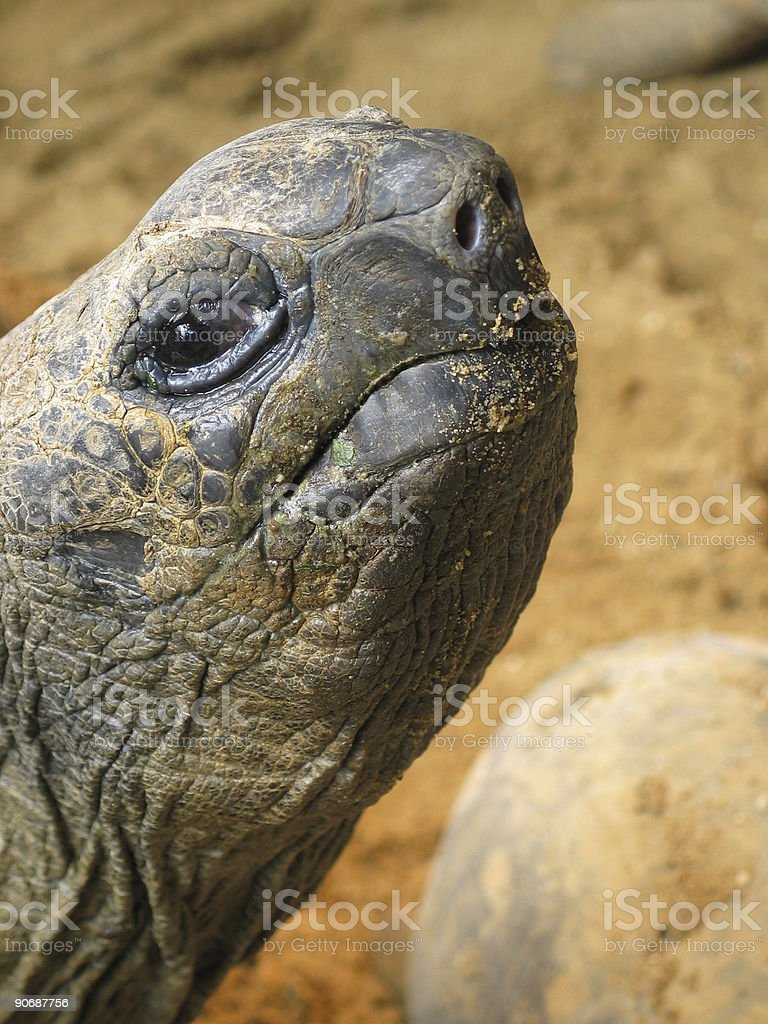Curious Turtle royalty-free stock photo