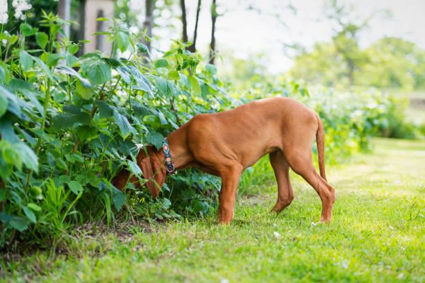 Neugierige vizsla Welpen schnüffeln im Garten. – Foto