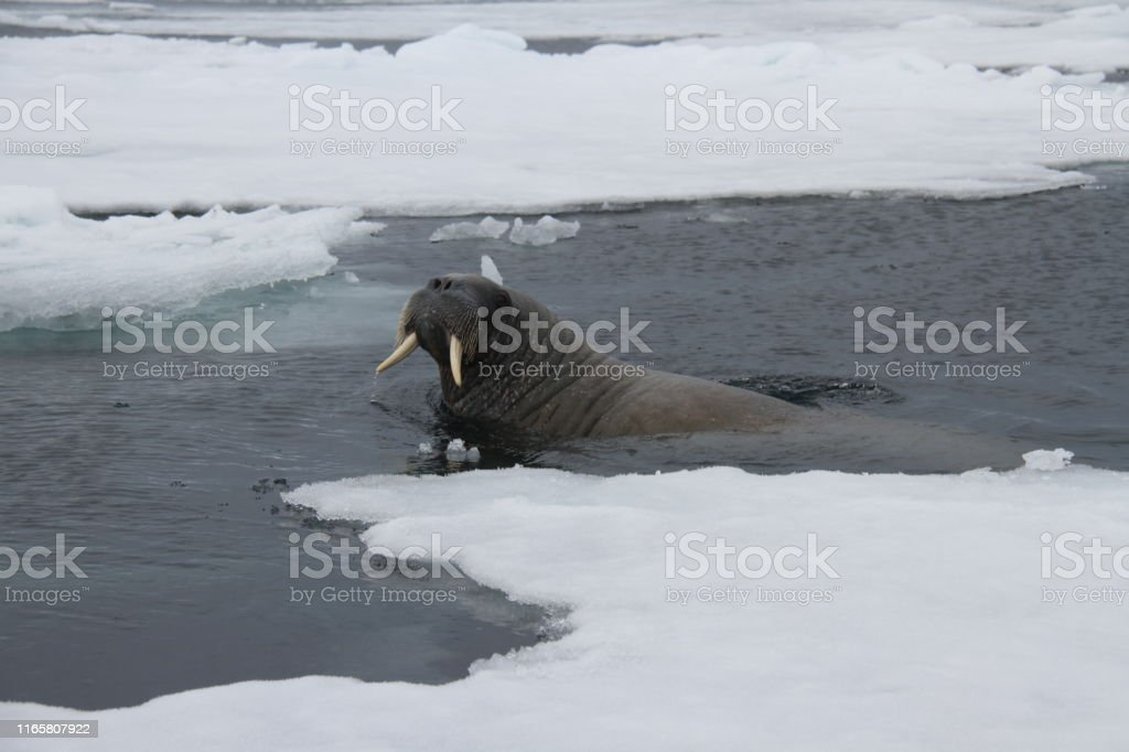 Curious Walrus A surfacing walrus just wanting to check out the boat Animal Stock Photo