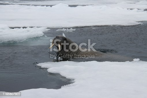 A surfacing walrus just wanting to check out the boat