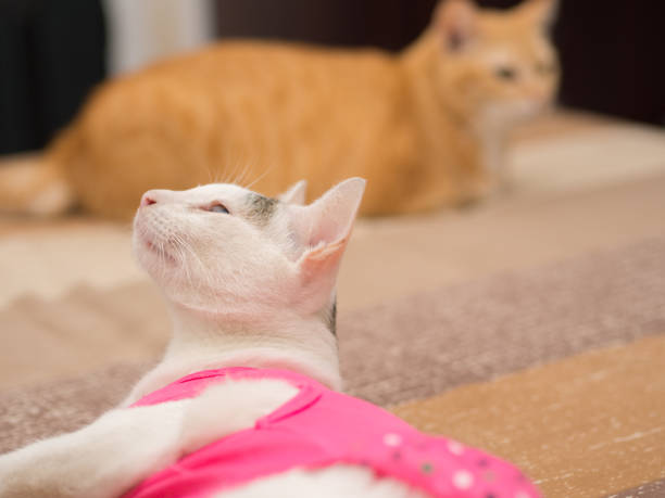 Curious White Cat with Pink Shirt Look Up stock photo