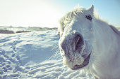 istock Curious white horse looking in the camera 849286180