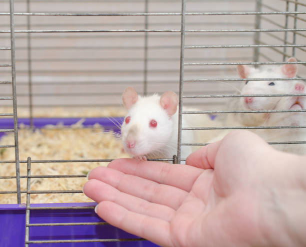 Curious white laboratory rat looking out of a cage and a human hand stock photo
