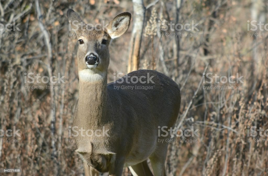 Curious Whitetail Doe Perspective stock photo