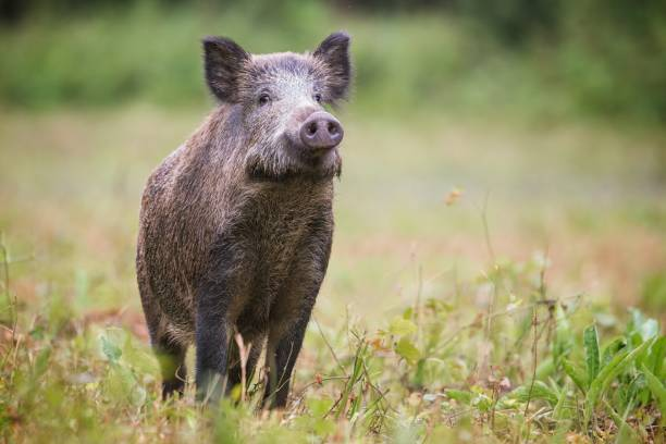 curious wild boar, sus scrofa, sniffing for danger on hayfield in daylight. - cinghiale animale foto e immagini stock