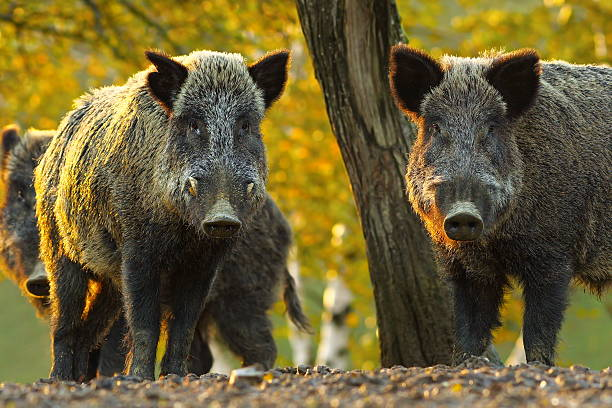 curious wild boars - animals in the wild stock pictures, royalty-free photos & images
