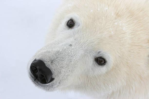 Curious wild polar bear face, Manitoba stock photo