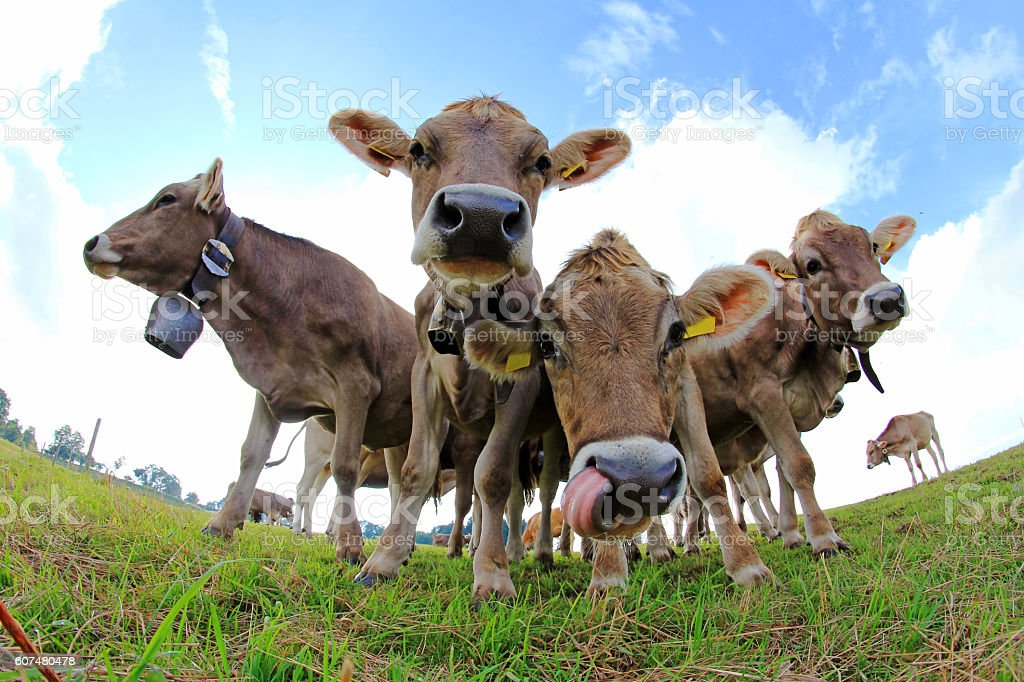 Curious young brown cattle on pasture stock photo