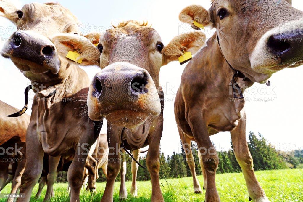 好奇心旺盛の若い茶色牛牧草地。3 好奇心が強い若い乳牛 ロイヤリティフリーストックフォト