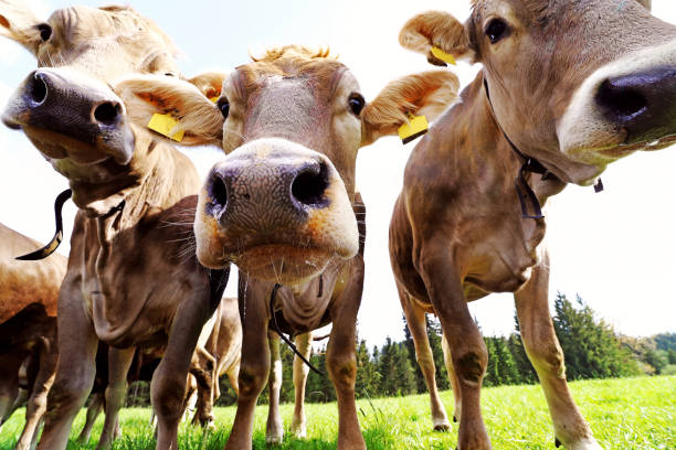 Curious young brown cattle on the pasture. Three curious young dairy cows stock photo