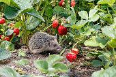 好奇心が強い若いハリネズミ、Atelerix albiventris、赤い果実の中で庭のイチゴ茂みの中で