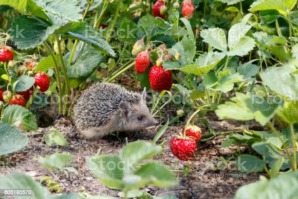 Curious young hedgehog atelerix albiventris in the bushes of in picture id805165570?b=1&k=6&m=805165570&s=612x612&h= 0s2evyahgatteojxxhfkgyo7hic 70wwnzpjx wome=