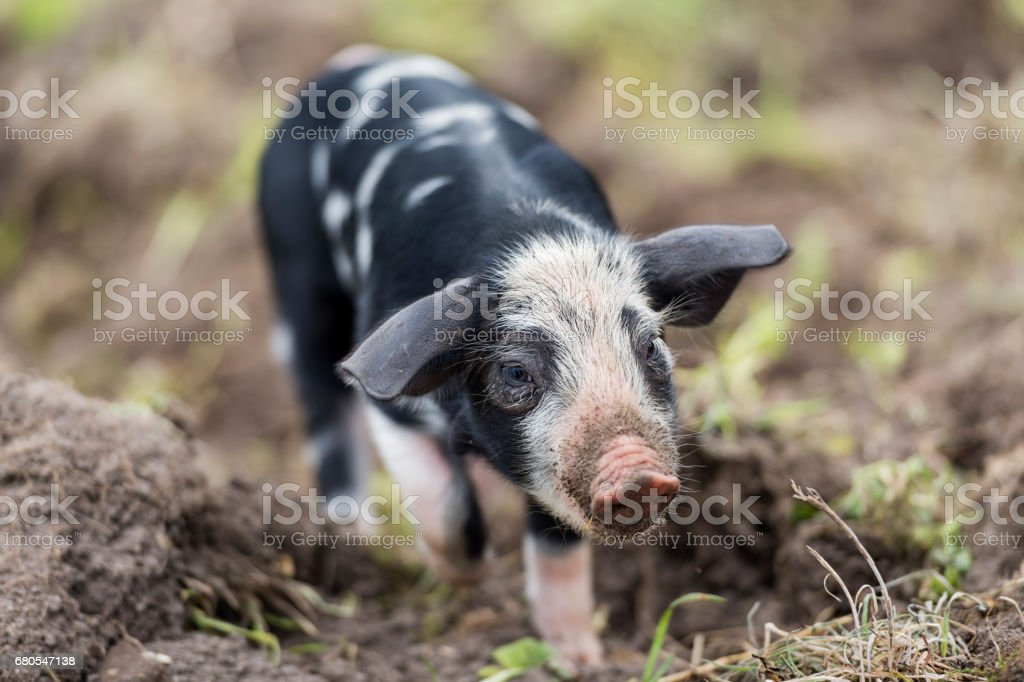 Curious Young Piglets Enjoying Their Outdoor Life stock photo