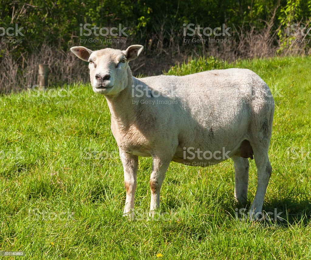 Curiously looking female sheep stock photo