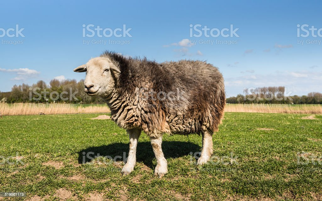 Curiously looking sheep standing on grassland stock photo