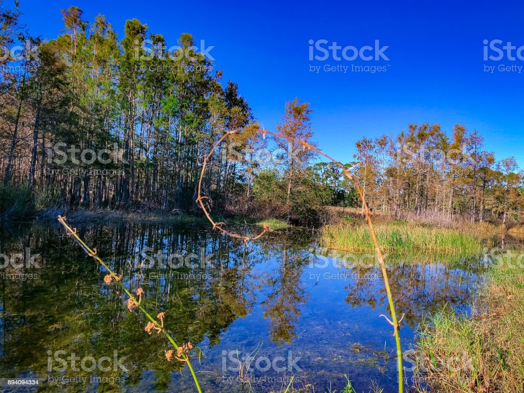 curled swamp plant stock photo