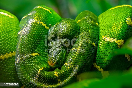 Curled up sleeping green Python snake in the wild.