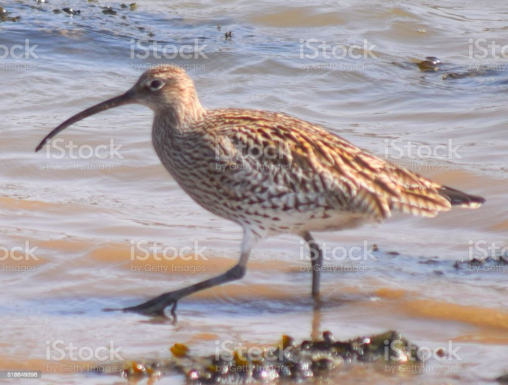 curlew bird wading in the water stock photo