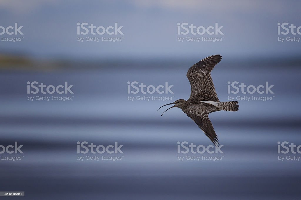 Curlew in Flight stock photo