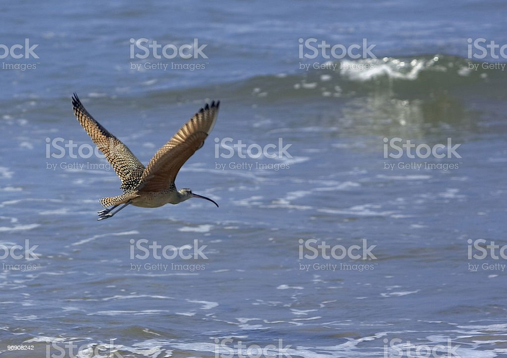 Curlew in Flight royalty-free stock photo