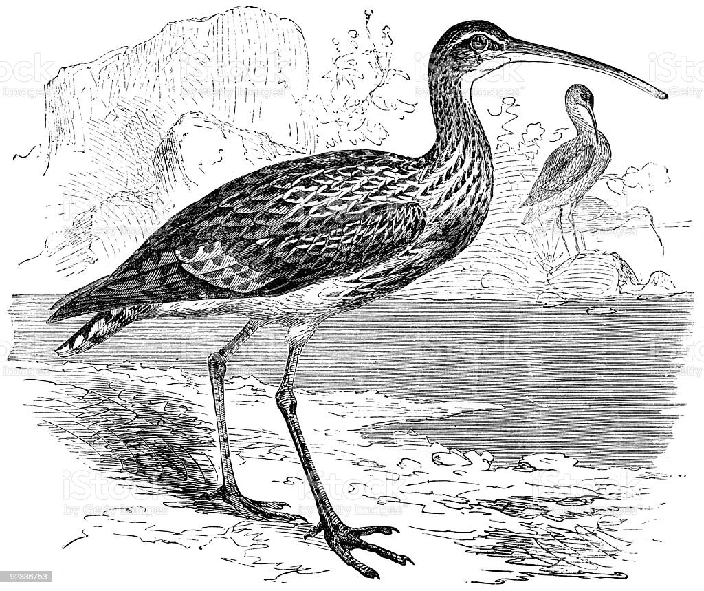 curlew royalty-free stock photo