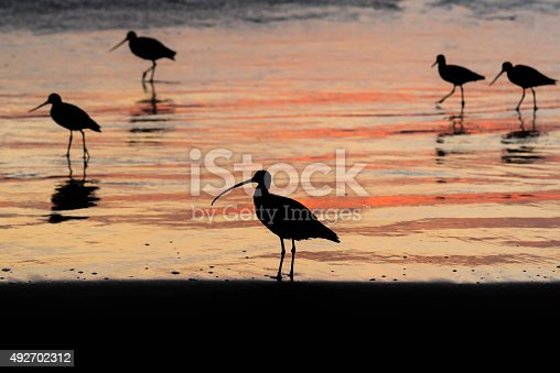 A long billed curlew is in the foreground and marbled godwits stroll in the background.  All are silhouetted against the pink tinged waters of the Pacific Ocean in Morro Bay, California
