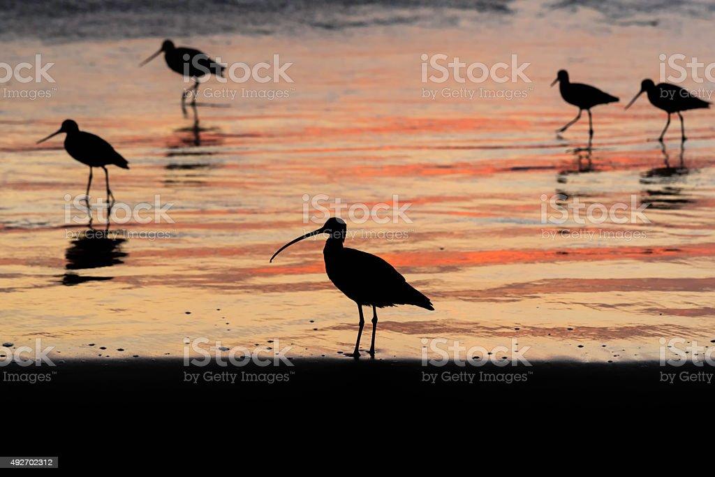 Curlew Shorebird Silhouette stock photo
