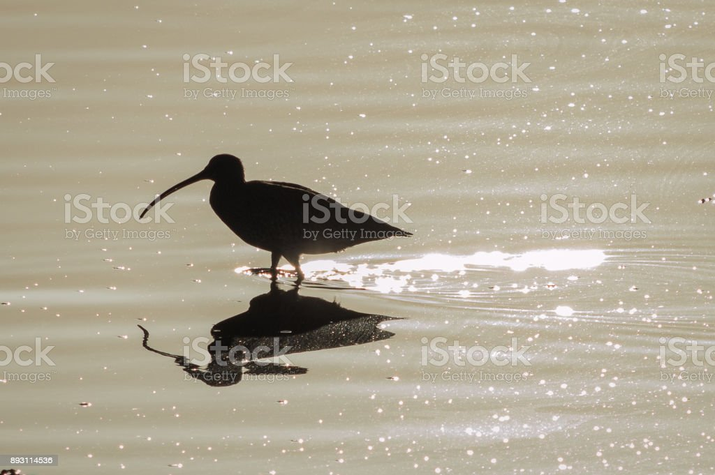 Curlew with ripples stock photo