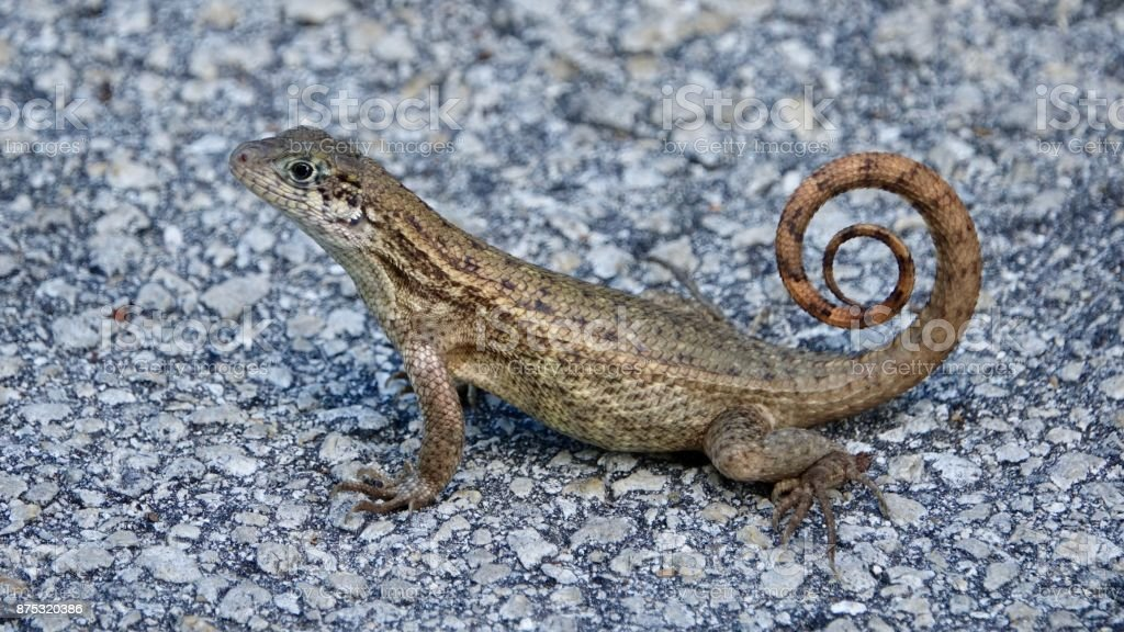 Curley-tailed Lizard stock photo