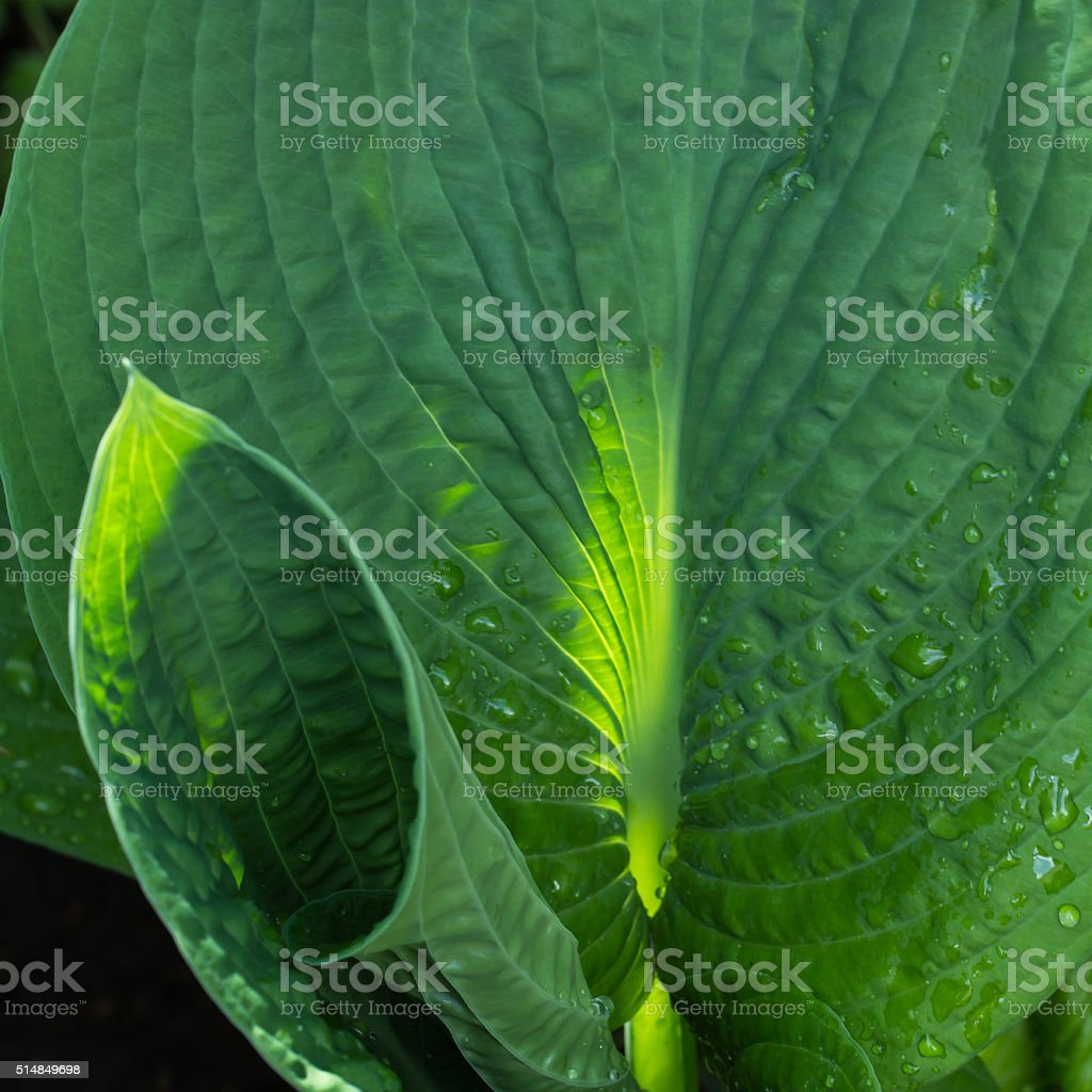 Curling leaves of a new host leave stock photo