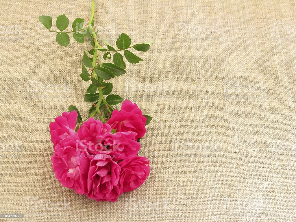 Curling rose. royalty-free stock photo