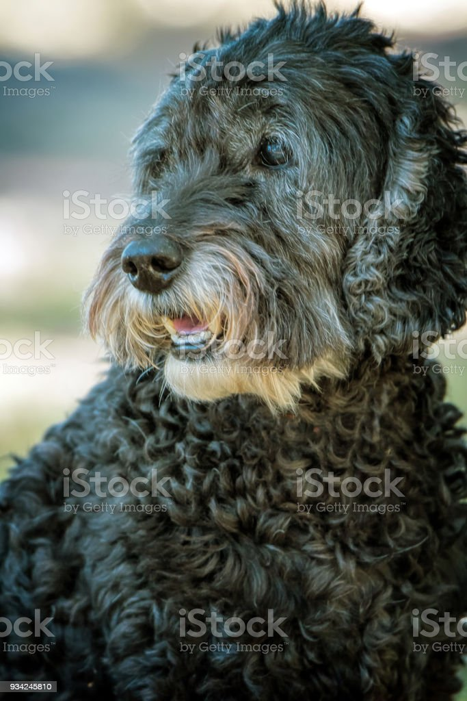 Curly black dog stock photo
