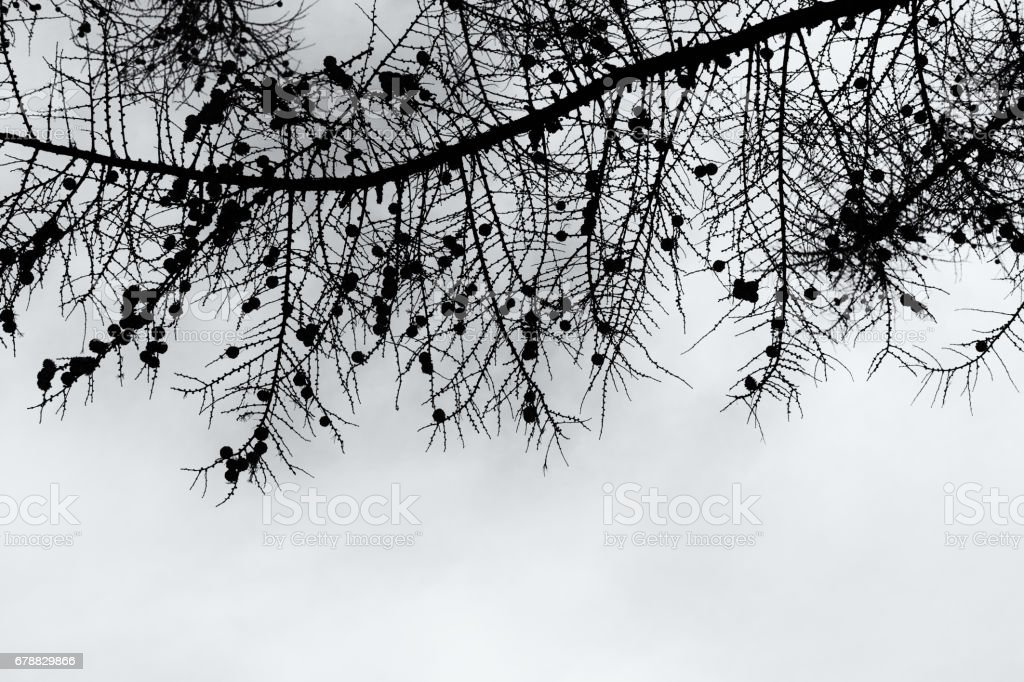 Curly branches of tree against winter sky, suitable as pattern or background. royalty-free stock photo