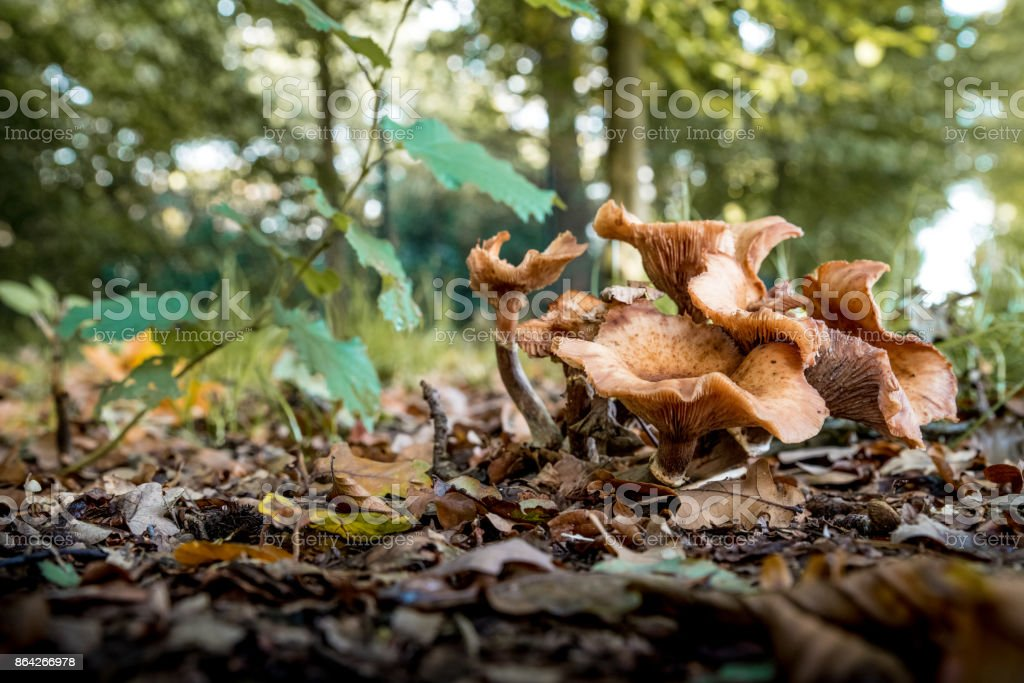 Curly brown mushrooms royalty-free stock photo