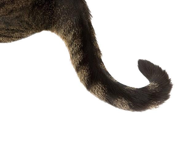 Curly cat tail picture id165168338?b=1&k=6&m=165168338&s=612x612&w=0&h=7bpeby z 5ktkoxe1om8744nddumr8g3heqnhxbm5ti=
