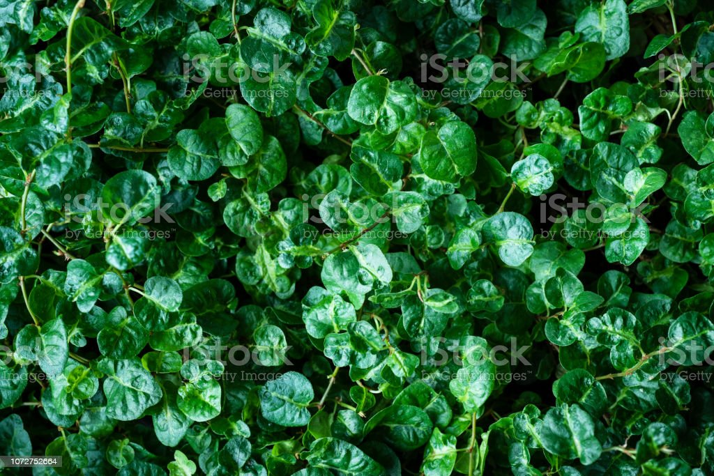Curly Fig (Ficus pumilar) Background stock photo