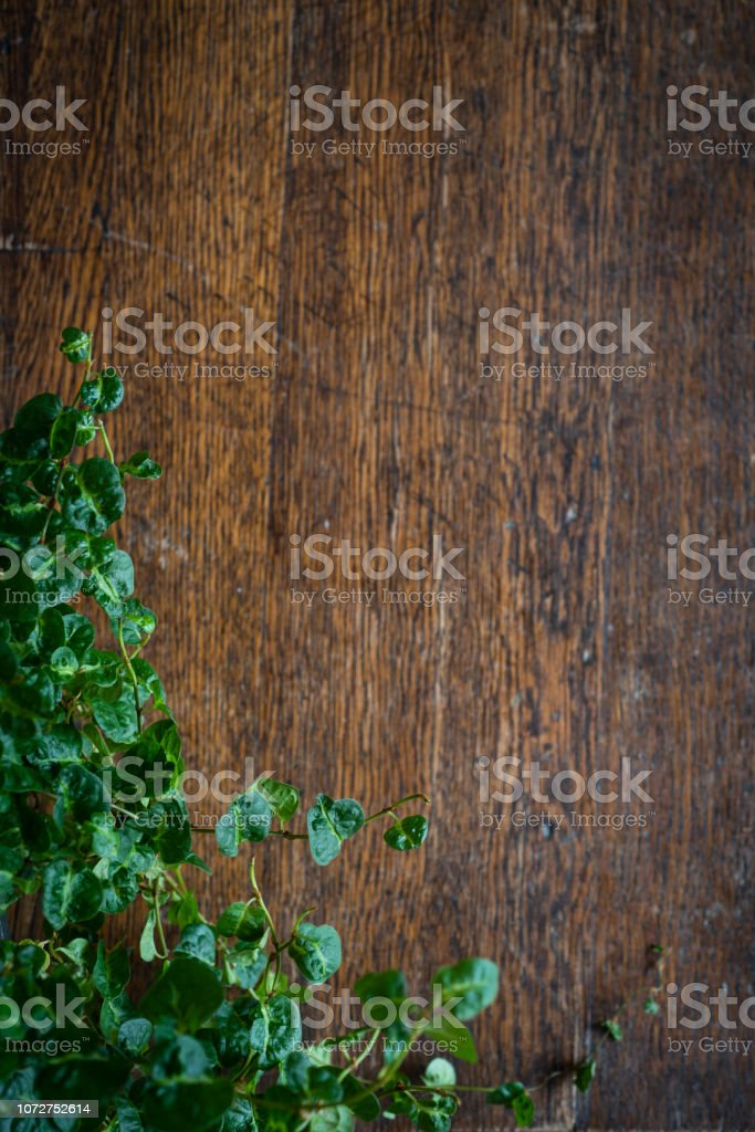 Curly Fig (Ficus pumilar) over a Wooden Background stock photo