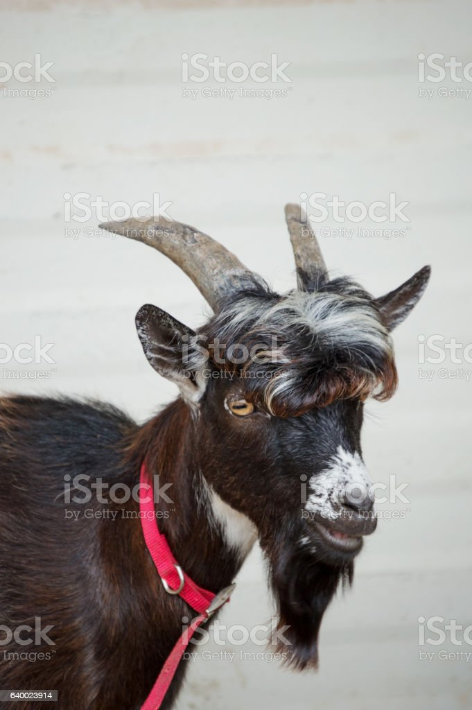 Curly hair and bearded goat stock photo