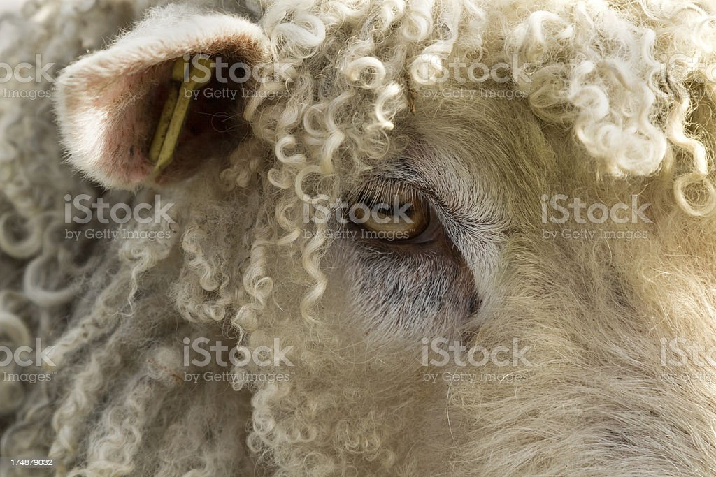 Curly haired sheep royalty-free stock photo