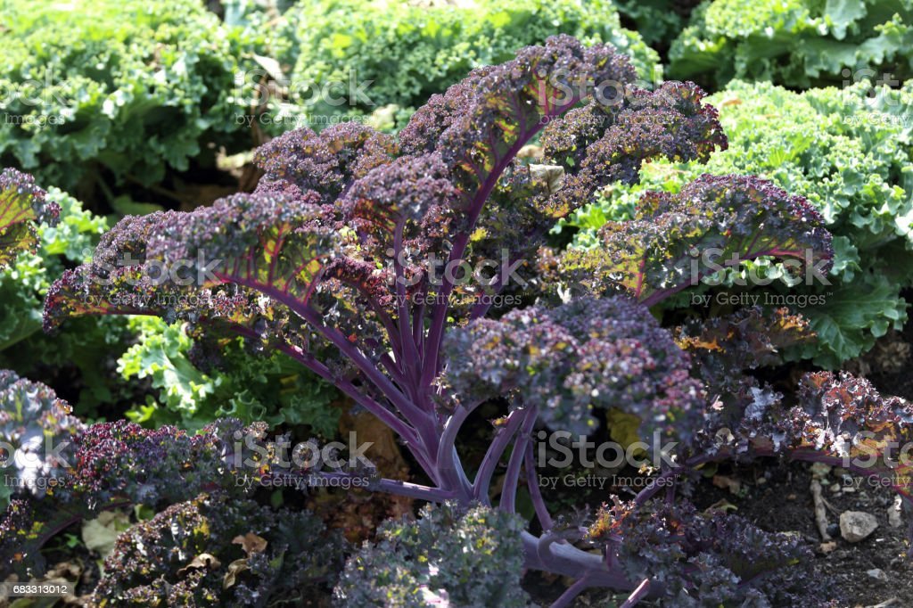 Curly kale cabbage foto stock royalty-free